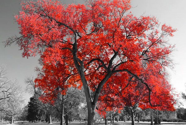 big-red-tree